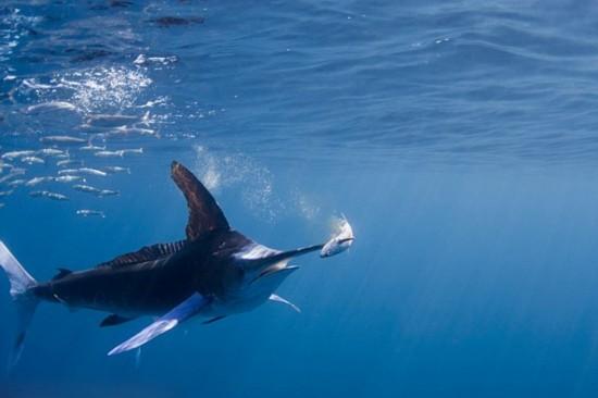 摄影师拍摄黄旗鱼猎食场面