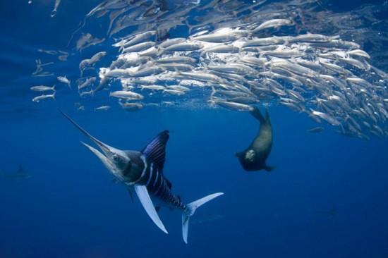 摄影师拍摄黄旗鱼猎食场面【2】