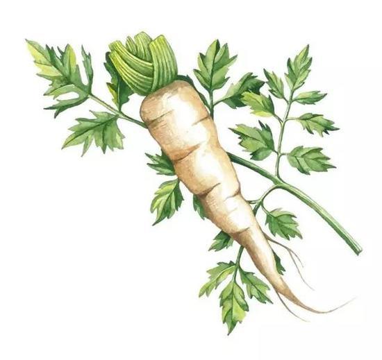 白萝卜性味辛、甘、凉,有消除积滞、化痰解热等功效,冬季吃可以起到预防风寒感冒的作用。