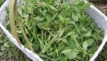 春季养生:春来野菜香 采食当慎重