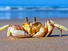 揭秘活螃蟹为什么一煮就变红
