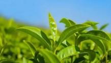 茶叶究竟属于酸性还是碱性?
