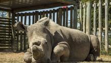 世界上最后一头雄性白犀牛,也差不多快要离开这个世界了