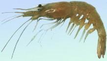 【小知识】白虾和青虾有什么区别?